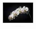 jbrault-orchidee-1