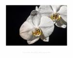 jbrault-orchidee-2