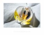 jbrault-orchidee-4